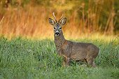 Male Roedeer in tall grass - Alsace France