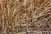 Young Boar in a reed bed - Alsace France