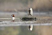 Crested grebe jumping on floating nest - Alsace France