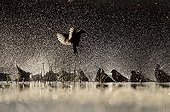Spotless Starling group flying and bathing backlig - Spain