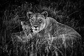 Lioness and cub in the grass - Botswana