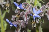 Honeybees flying on flowers Borage - Northern Vosges France