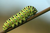 Swallowtail caterpillar on rod Parsnips. The region of Entre-deux-Mers, Aquitaine France