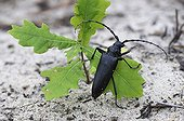 Long-horned beetle on young Oak - Aquitaine France