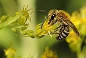 Davies' Colletes on Canada Goldenrod - Northern Vosges