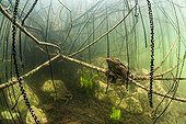 European toad and its eggs in a lake - France ; GDT - European Wildlife Photographer of the Year 2014<br>Underwater World category<br>Winner