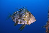 John Dory swimming - Mediterranean Sea