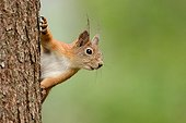 Red squirrel on a trunk - Finland