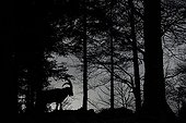 Silhouette male ibex in the forest - Jura Mountains