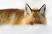 Glance of Red fox in the snow - Mercantour France