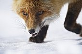 Red fox walking in the snow - Mercantour France