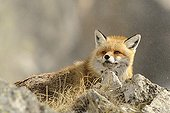 Red fox on rock - Mercantour Alps France