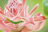 Martinique Anole on a Torch Ginger flower - Martinique