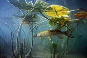 Pike lurking under water lily leaves - Jura France
