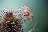 Cross Orbweaver on thistle - France