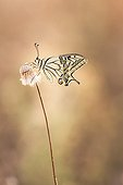 Old World Swallowtail on dry grass in scrubland - France