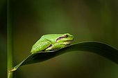 Tree frog on a leaf - Mejean pond France