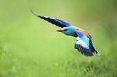 European Roller in flight - Bulgaria