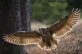 Eagle Owl in flight - Czech Republic