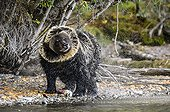 Grizzly snorting after fishing a salmon - Canada