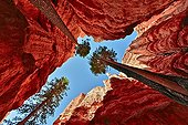 Blackjack pines and Hoodoos - Bryce Canyon NP Utah USA ; Amphiteatre<br>Deltaic sediments of Jurassic age (Claron Formation) of sandstone, dolomite and marl colored by iron oxides and carved by erosion in an amphitheater of hoodoos (pinnacles) arches and bridgesThe reflected light (spectral) from sunrise sun enriched natural polychrome these high walls sometimes nearly 50 meters