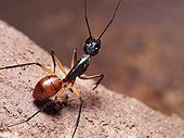 Giant Forest Ant in a small cave - Bako Borneo Malaysia