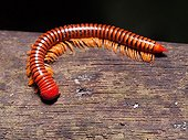 Red Millipede on wood - Gunung Mulu Borneo Malaysia