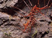 Long legged centipede with prey - Bako Borneo Malaysia
