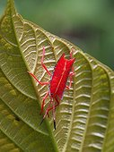 Shield Bug on leaf - Gunung Mulu Borneo Malaysia