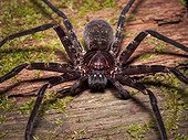 Huntsman spider on wood - Bako Borneo Malaysia