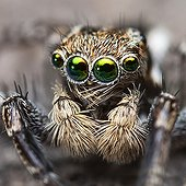 Portrait of male Jotus Jumping Spider  - Australia ; front on macro shot showing the spiders face-head and emphasing the huge mirror like eyes.