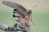 Common Kestrel mating on a branch - Spain