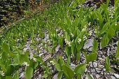 Lily of the Valley flowering mountain - Alpes France  ; Contains convallarine close substance digitalis and used in medicine for the treatment of cardiac disorders.