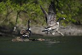 Canada Geese flying away - Alsace France