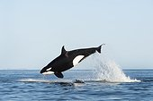 Killer Whale attacking a Common Dolphin - Gulf of California ; The dolphin is visible beneath the whale.