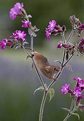 Harvest Mouse on Red Campion in summer - GB