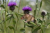 Harvest Mouse on Knapweed in summer - GB