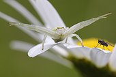 Goldenrod Spider on the look of a Fly on an Oxeyedaisy