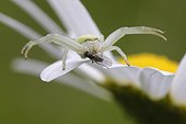 Fly on a Goldenrod Spider on the lookout on a Oxeyedaisy  ; Fly traveling without seeing a Goldenrod Spider on the lookout