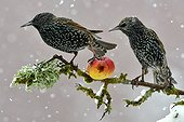 Common Starlings eating an apple in winter - France