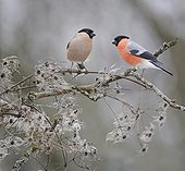Couple of Bullfinches on branch - Northern Vosges France