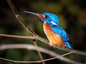 Blue-eared kingfisher on branch - Kinabatangan Malaysia