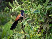 Greater Coucal on a branch - Tawau Hills Malaysia