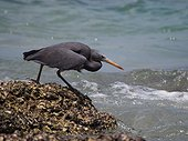 Pacific Reef-egret on the reef - Koh lanta Thailand