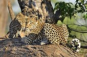 Female Leopard and young on a branch - Khwai Botswana