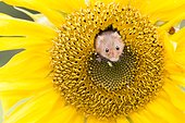 Harvest mouse coming out a sunflower - Englade