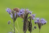 Harvest Mouse perched on a Blue Tansy in summer - GB