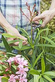 Pruning of faded flowers of an oleander in a garden
