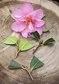 Cuttings of camellia in a garden