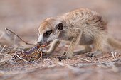 Young Meerkat eating a Scorpion - Kalahari South Africa ; A young meerkat bites the sting off a scorpion before eating it, a behavior that it is taught by an adult.